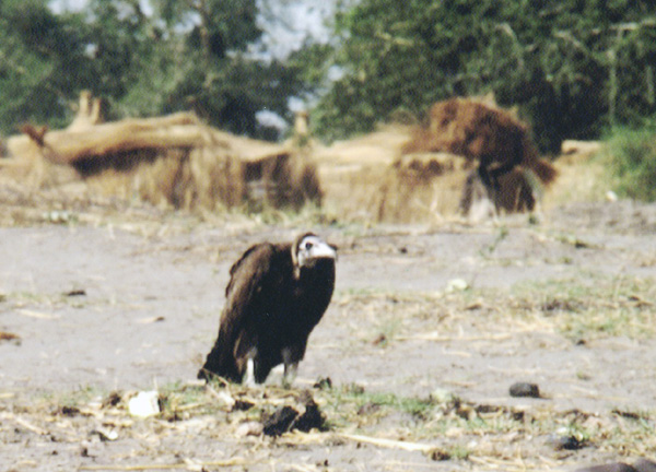 African Kid Vulture Picture